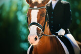 Portrait of a beautiful sorrel horse with a rider in the saddle on a sunny summer day against the background of dark green foliage of trees. Equestrian sports. Horse riding.