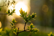 Spring Evening, On The Background Of Sunset On A Branch Of An Apple Tree Blossoms Young Leaves