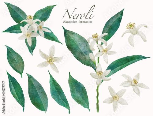 Foto ネロリの花の水彩画イラスト
