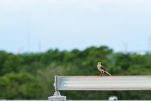 Mockingbird Perched On A Light