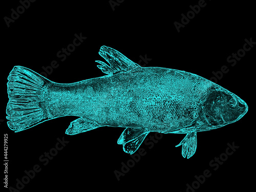 Fotografia, Obraz Illustration of a fish tench glowing in blue on a black background
