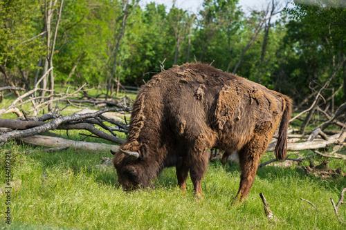 Fényképezés buffalo in the field
