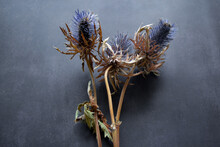 Dry Flowers Of The Blue-headed Plant Of The Family Umbelliferae With Blue Prickly Flowers, Brown Stems On A Black Background With Copy Space