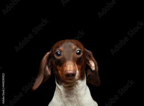Fotografie, Tablou image of dog dark background