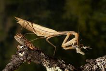 Praying Mantis On Leaf In Nature