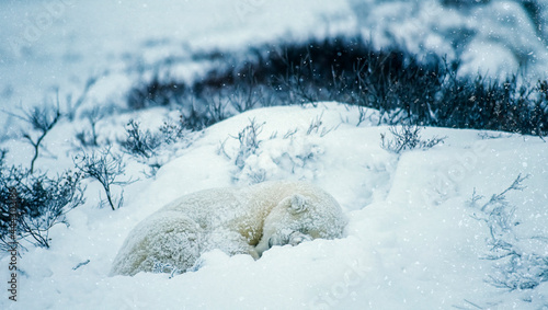 Fotografiet Young polar bear sleeping