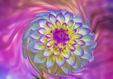 Colrful Dahlia Bloom,close Up