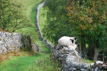 Sheep On Stone Wall In Yorkshire