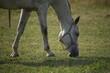 Koń biało szary na pastwisku głowa