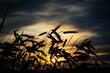 Roggen umrisse mit Sonnenuntergang