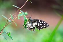 Papilio Butterfly Or Common Lime Butterfly Clap The Wings On The Flowers, Macro Picture