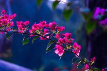 Blooming Bougainvillea Flowers Background. Bright Pink Magenta Bougainvillea Flowers As A Floral Background.  Bougainvillea Flowers Texture And Background. Close-up View Bougainvillea Tree With Flower