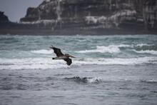 Pacific Northwest Pelican Flying Over Ocean On The Oregon Coast