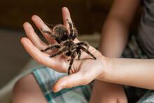 Large Tarantula On Child's Arm. Scary Spider Crawls Over A Boy.