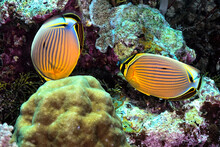 A Picture Of Two Exquisite Butterflyfish
