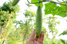 Closeup Green Ripe Cucumber Hold Hand With Vine Over Out Of Focus Green Brown Background.