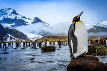 King Penguin (Aptenodytes Patagonicus) On Hummock At Gold Harbor, South Georgia