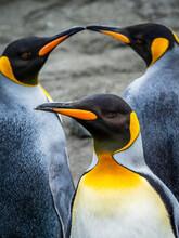 We Three Kings, Trio Of King Penguins (Aptenodytes Patagonicus), Gold Harbor, South Georgia