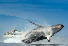 Humpback Whale (Megaptera Novaeangliae) Breaches In From Of Whale Watching Boat, Maui, Hawaii