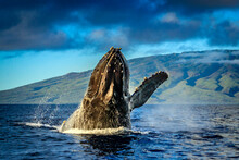 Breaching Humpback Whale (Megaptera Novaeangliae), Maui, Hawaii