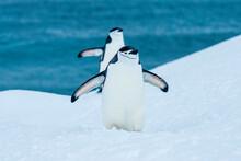 Chinstrap Penguins (Pygoscelis Antarcticus) Walking On Fresh Snow At Half Moon Island, South Shetland Islands, Antarctica