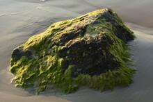 Green Algae Covered Boulder At Sea Coast Beach. Sea Algae Or Green Moss Stuck On Stone. Rocks Covered With Green Seaweed In Sea Water.