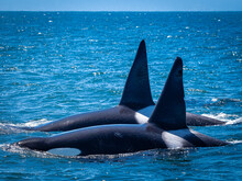 Twin Dorsal Fins Of Make Transiant Killer Whales (Orca Orcinus) Hunting In Monterey Bay, Monterey Bay National Marine Refuge, California