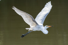 The Eastern Great Egret, A White Heron In The Genus Ardea, Is Usually Considered A Subspecies Of The Great Egret. In New Zealand It Is Known As The White Heron