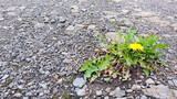 Fototapeta Kuchnia - Yellow dandelion flowers grow on gray dirt road.