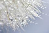 Fototapeta Kawa jest smaczna - Beautiful dew drops on a dandelion seed. Beautiful soft background. Macro photography.