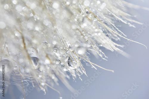 Photo Beautiful dew drops on a dandelion seed