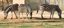 African Zebra Grazing Green Grass
