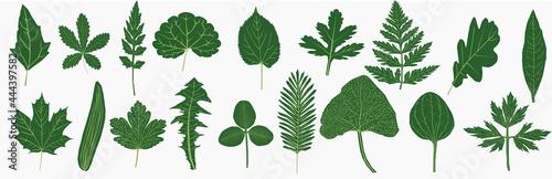 Fototapeta vectors representing different leaves, mountain leaves