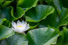 One White Lotus Flower And Raindrops On Leaves In Summer. Nymphaea Alba. European White Water Lily. White Water Rose. White Nenuphar.
