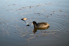 A Eurasian Coot, Also Known As A Common Coot, Eating A Reed While Swimming In A Lake Late In The Afternoon