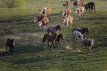 Cattle On The Run