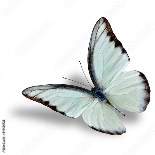 Billede på lærred Beautiful flying white butterfly, Chocolate Albatross with soft shadow underneat
