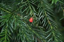 Eibe Mit Roter Frucht