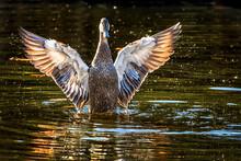 Pacific Black Duck - Anas Superciliosa