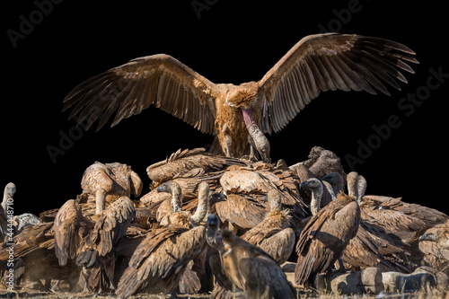 Canvas Print White backed Vulture group scavenging giraffe's carcass isolated in black backgr