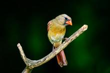 _DSC8598_HR-Northern Cardinal