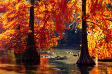 Pond In Autumn With Red Cypress Trees And Ducks And Swans. Fall Colors In A Park.