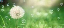 Big White Dandelion And Soap Bubbles