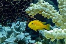 Fish Cichlid Labidochromis Caeruleus In The Freshwater Aquarium