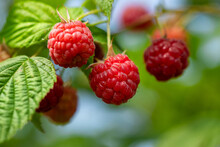 Ripe Berries Of Red Garden Raspberries On The Branches Of A Bush, A Sunny Summer Day