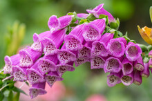 Digitalis Purpurea Common Foxglove Flowers In Bloom, Beautiful Purple Flowering Woodland Plants, Tall Stem