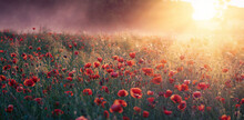 Wild Poppies Bloom In The Field. Sunbeams And Morning Fog