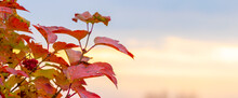 Viburnum Bush With Red Leaves On A Background Of The Sky During Sunset