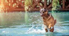 German Shepherd Cheerful Dog Jumps On The Water