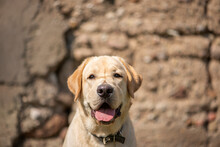 Active, Smile And Happy Purebred Labrador Golden Retriever Dog Puppy On Old Stone Wall Background